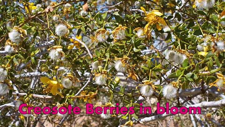 Creosote Berries Image