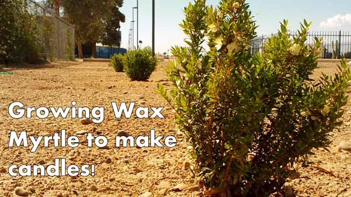 Wax Myrtle Image